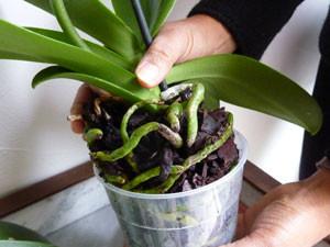 racines orchidées