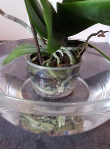 comment arroser une orchidée