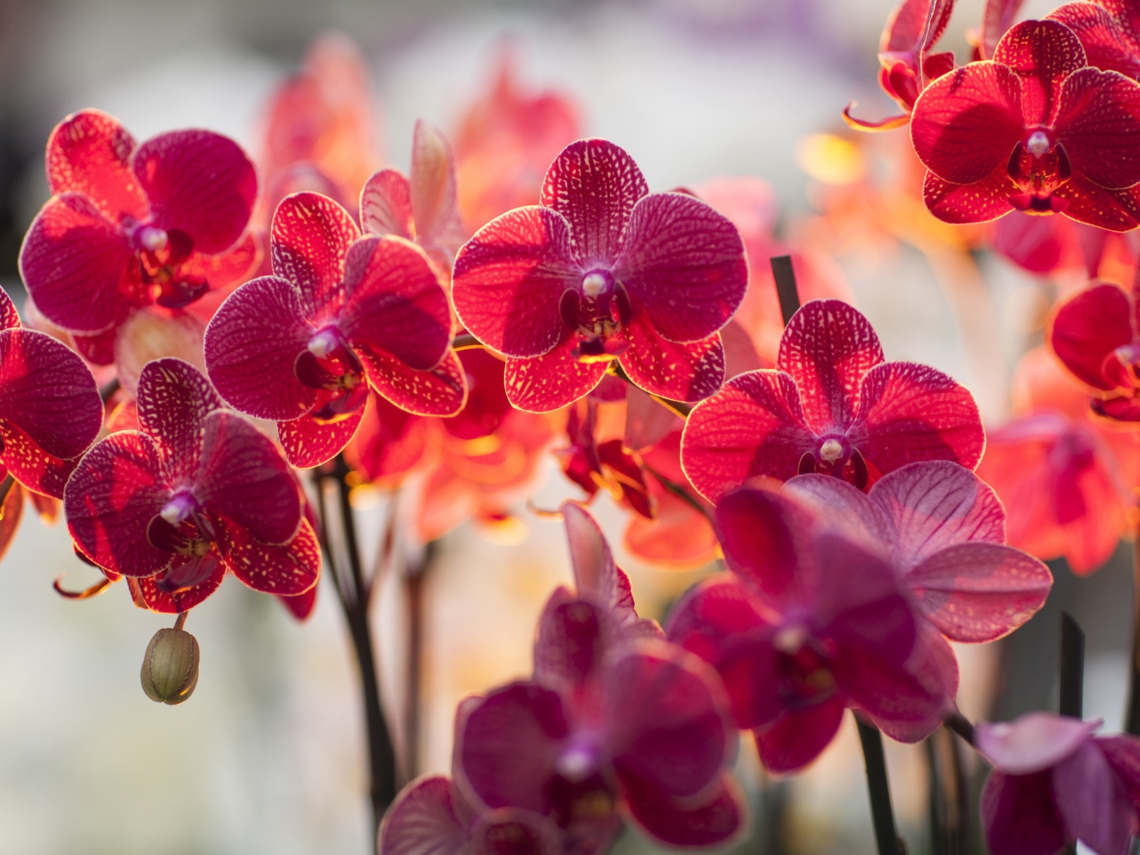 orchidee achat