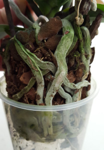 racines sèches arrosage orchidée