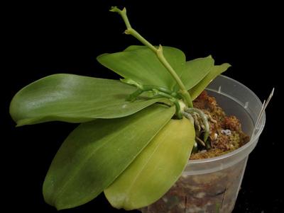 Comment tailler une orchid e - Comment couper orchidee apres floraison ...