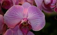 faire refleurir son orchidée