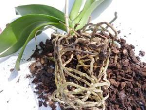 rempotage orchidée